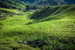 Plantation de thé chez Cameron Highlands, Malaisie, Asie Images libres de droits