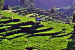 Plantation de thé dans Java Photo stock