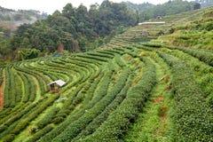 Plantation de thé dans le Doi Ang Khang, Chiang Mai, Thaïlande Photos stock