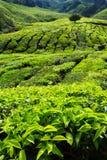 Plantation de thé dans les montagnes de Cameron Photo libre de droits