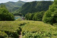 Plantation de thé dans Matsesta, Sotchi, Russie Photos stock