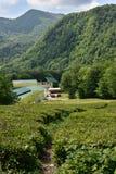 Plantation de thé dans Matsesta, Sotchi, Russie Images stock