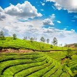 Plantation de thé dans Munnar photographie stock libre de droits