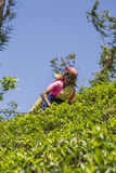 Plantation de thé dans Nuwara, Sri Lanka Image libre de droits