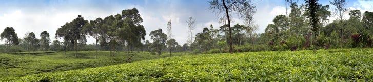 Plantation de thé dans Wonosobo l'Indonésie, Java Photographie stock libre de droits
