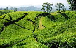 Plantation de thé de Bandung Photos libres de droits