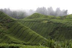 Plantation de thé des montagnes de Cameron Images stock