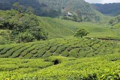 Plantation de thé en Cameron Highlands, Malaisie Images libres de droits