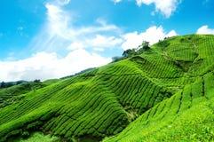 Plantation de thé en montagne de Cameron Image stock