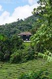 Plantation de thé en montagnes de Cameron, Malaisie Image stock