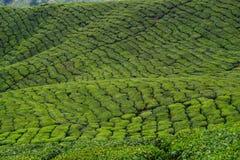 Plantation de thé en montagnes de Cameron, Malaisie Photographie stock libre de droits