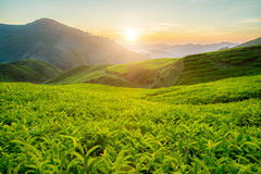 Plantation de thé en montagnes de Cameron, Malaisie Image libre de droits