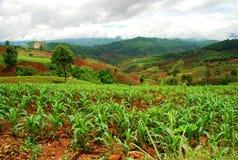 Plantation de thé. Mae Salong Nai, Chiang Rai, Thaïlande images libres de droits