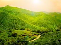Plantation de thé - Malaisie Photo stock