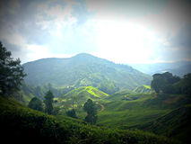 Plantation de thé, Malaisie Photo stock