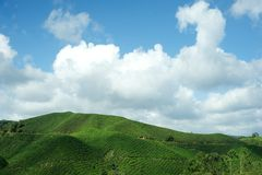 Plantation de thé, montagnes de Cameron Image libre de droits