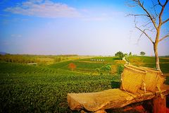 Plantation de thé pendant l'hiver Photos stock