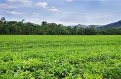 Plantation de thé près de la forêt humide Image stock