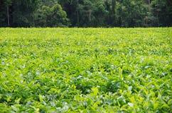 Plantation de thé près de la forêt humide Photos stock