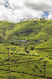 Plantation de thé près de Nuwara Eliya Sri Lanka Photo stock