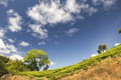 Plantation de thé près de Nuwara Eliya Sri Lanka Image libre de droits