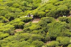 Plantation de thé près de Nuwara Eliya Sri Lanka Photographie stock libre de droits