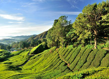 Plantation de thé, Sungai Palas, Cameron Highlands Photo stock