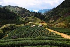Plantation de thé sur la colline Photo stock