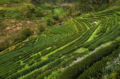 Plantation de thé sur la colline Image stock