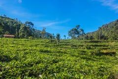 Plantation de thé sur la montagne Photographie stock