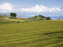 Plantation de thé sur le sao Miguel, Açores, Portugal photo libre de droits