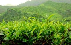 Plantation de thé Photos stock