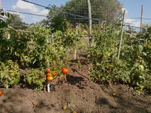Plantation de tomates Photos libres de droits