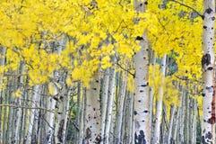 Plantation de tremble d'automne dans le vent Image libre de droits