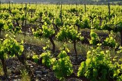 Plantation de vigne Photographie stock libre de droits