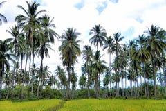 Plantation des arbres de noix de coco Ferme Île de Palawan Images libres de droits