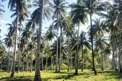 Plantation des arbres de noix de coco Ferme philippines Île de Palawan Photographie stock