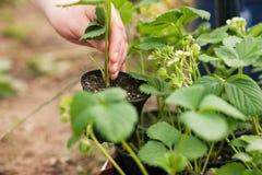 Plantation des fraises Images stock