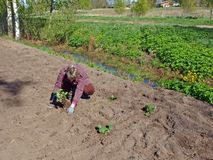 Plantation des fraises 3 photographie stock