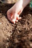 Plantation des graines d'épinards Images libres de droits