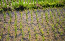 Plantation des graines dans la palette L'eau sur des gisements de riz Élevage de riz de palette Photos libres de droits