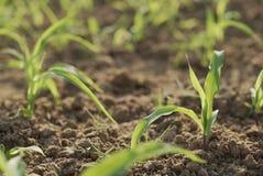 Plantation des graines de maïs photo libre de droits