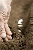Plantation des haricots Images libres de droits