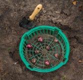 Plantation des jacinthes dans un panier Photographie stock