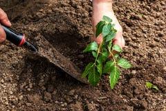 Plantation des jeunes plantes dans la terre Photos libres de droits