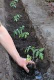 Plantation des jeunes plantes de tomate dans le fossé en trou avec de l'eau Fin vers le haut Images stock