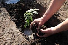 Plantation des jeunes plantes de tomate en trou avec de l'eau Fin vers le haut Photos libres de droits