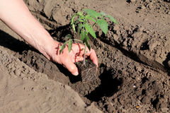 Plantation des jeunes plantes de tomate en trou Fin vers le haut Images libres de droits