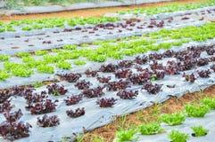 Plantation des légumes Images stock