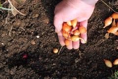 Plantation des oignons de semence dans le sol. Photo libre de droits